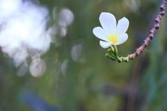 普遍,精美,白色和黄色羽毛花卉生长在一个美丽的被弄脏的` bokeh `泰国庭院里 免版税库存照片