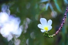 普遍,精美,白色和黄色羽毛花卉生长在一个美丽的被弄脏的` bokeh `泰国庭院里 库存图片