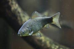 普鲁士人的鲤鱼(鲫属gibelio) 免版税库存照片