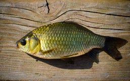 普鲁士人的鲤鱼 免版税图库摄影