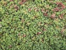 景天属地面覆盖物植物 免版税库存照片
