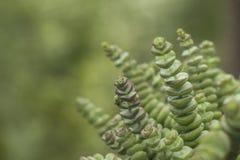 景天树按钮植物perforata或串  免版税库存图片