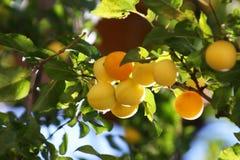晴朗下午的杏子 免版税图库摄影
