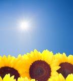 晴朗天空的向日葵 免版税库存照片