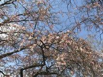 晴朗春天开花的树苹果蓝天好的心情 库存照片
