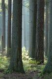 晴朗森林的早晨 免版税库存照片