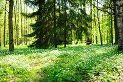 晴朗森林的沼地 免版税库存照片