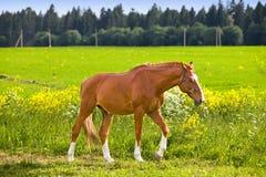 晴朗海湾明亮的日马的草甸 库存照片