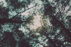 晴朗的下午在杉木森林里 库存图片