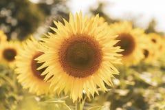 晴朗的向日葵领域 图库摄影