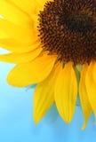 晴朗的向日葵 免版税图库摄影