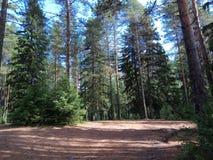 晴朗的夏日在杉木森林里在卡累利阿 俄国 免版税库存照片