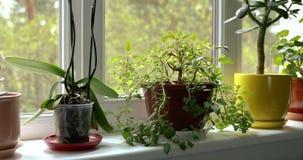 晴朗的家庭窗台的盆的室内植物 股票录像