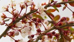 晴朗的春天早晨在樱桃庭院里 股票录像