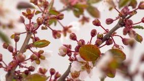 晴朗的春天早晨在樱桃庭院里 影视素材