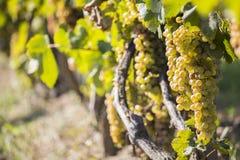 晴朗的秋天收获的葡萄园 免版税库存图片