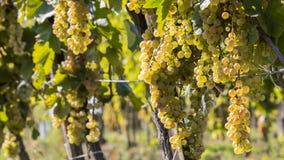 晴朗的秋天收获的葡萄园 库存图片