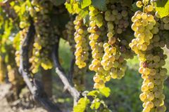 晴朗的秋天收获的葡萄园 库存照片