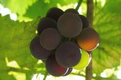 晴朗的葡萄在夏天庭院里 免版税库存图片