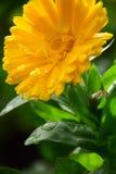 晴朗的金盏草Officinalis金盏菊,雏菊玛丽亚Rutkovska 图库摄影
