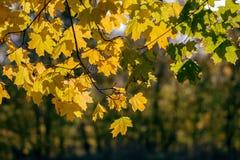 晴朗的黄色红色上色了秋天季节槭树叶子背景 免版税库存图片