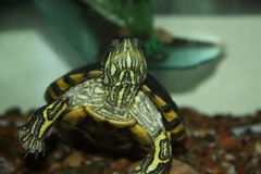 水晶草龟 库存照片