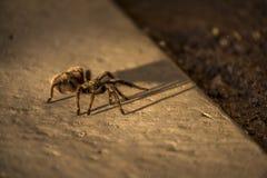 智利人罗斯塔兰图拉毒蛛蜘蛛,智利 免版税库存照片