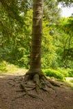 智利南美衫树桩从步行到Aira力量瀑布阿尔斯沃特湖Valley湖区Cumbria英国英国 库存图片