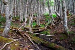 智利森林 图库摄影