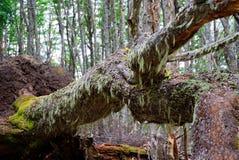 智利森林 免版税库存照片