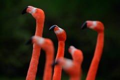 智利火鸟, Phoenicopterus chilensis,与长的脖子的好的桃红色大鸟群,跳舞在水中,在自然的动物 免版税库存照片
