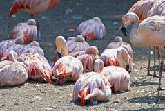 智利火鸟-桃红色waterbirds 免版税库存图片