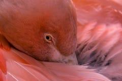 智利火鸟 免版税图库摄影