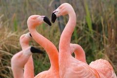 智利火鸟 库存图片