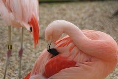 智利火鸟- Phoenicopterus chilensis 免版税库存图片
