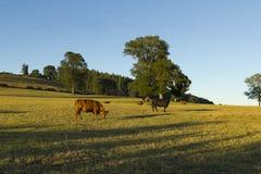 智利牛产业 库存照片