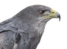智利蓝色老鹰的特写镜头- Geranoaetus melanoleucus 免版税库存照片