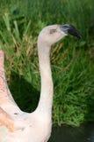 智利chilensis火鸟phoenicopterus 库存图片