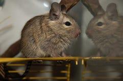 智利degu灰鼠 库存照片