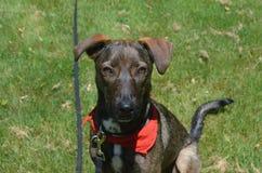 黑暗与一块红色班丹纳花绸的色的Cunucu狗 库存照片