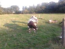 暗中侦察的公牛 免版税库存图片