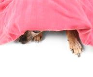暗中进行的狗 免版税库存图片