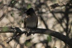 黑暗加盖的歌手& x28; Pycnonotus tricolor& x29;在分支栖息的鸟 非洲著名kanonkop山临近美丽如画的南春天葡萄园 免版税图库摄影