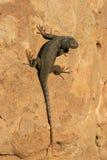 黑暗异常色的蜥蜴 库存照片