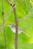 黑暗收缩的长尾缝叶鸟 免版税库存图片