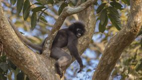 暗淡叶子猴子睡觉 免版税图库摄影