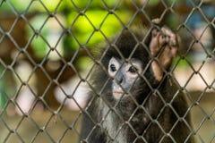 暗淡的叶子猴子或戴了眼镜叶猴 免版税库存照片