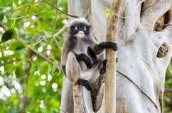 暗淡的叶子猴子或Trachypithecus obscurus在树 免版税库存图片