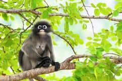 暗淡的叶子猴子或Trachypithecus obscurus在树 免版税库存照片