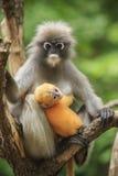 暗淡的叶子猴子,在南部的暗淡的叶猴母性tha 免版税库存图片